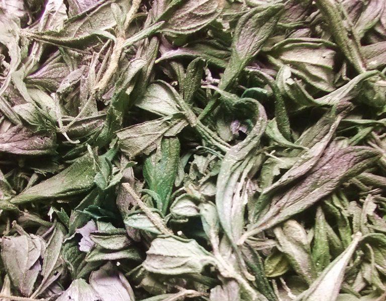 Jamaican Mint dried
